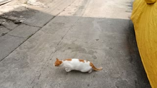 Cat Stops Traffic - Video