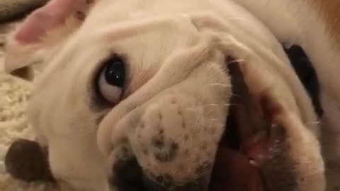 Spoiled bulldog puppy back talks his owner