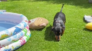 Dachshund Sausage Dog Debates Jumping Into Paddling Pool