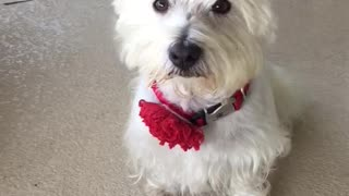 Adorable Westie Weather Audition