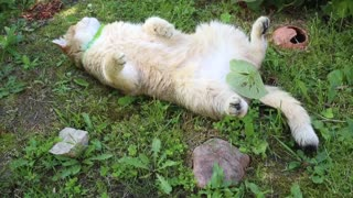 Cat totally sprawls out on grass for summertime relaxation