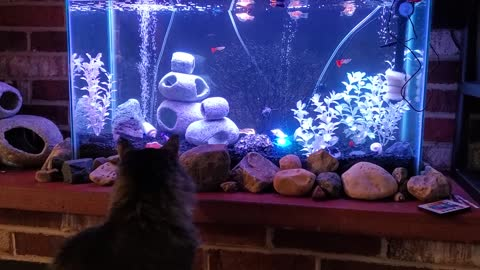 Adorable huge cat wanting to play with fish