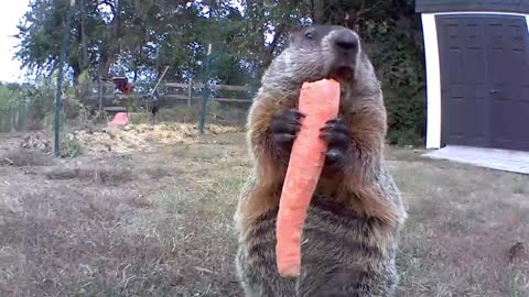 Groundhog Chows Down On Carrot For The Camera