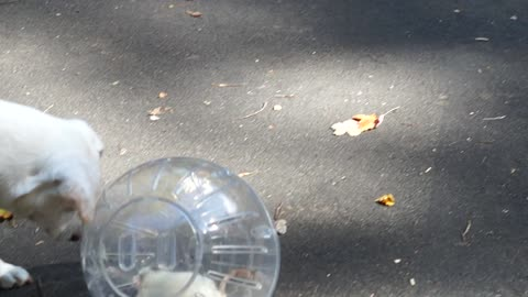 Dog looking at a Rat inside a moving ball