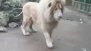 Fully Grown Lion Gets Scared Of Harmless Bubble - Video