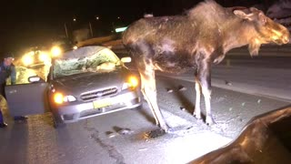 Moose Stands After Accident