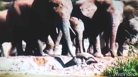 Mother Elephant Rescues Baby Stuck In Mud Pit.....