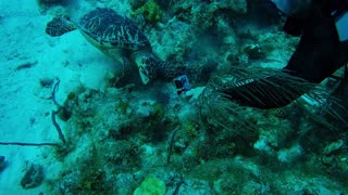 Endangered Sea Turtle Shows Amazing Trust In Scuba Diver - Video