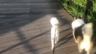 Pup makes new friend at the dog park, follow each other home