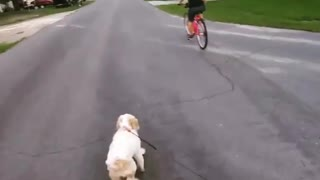 Collab copyright protection - man rides bike and walks white dog - Video