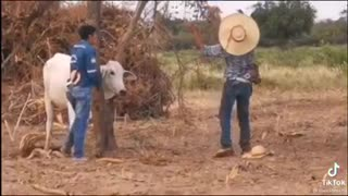 They want to help the cow, but watch the video