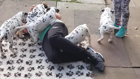 Kid totally swarmed by litter of Dalmatian puppies