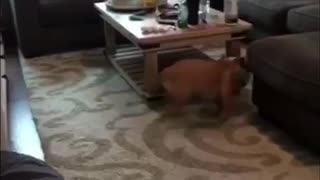 English Bulldog Puppy has the Zoomies!!  - Video