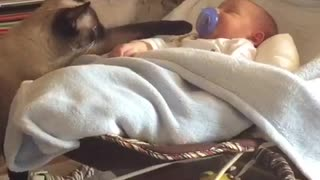 Cat interested in babys purple pacifier