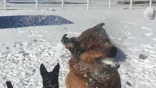 Slowmo brown dog catches snow ball in field