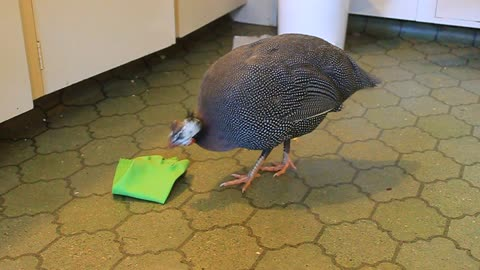 Twink the Guinea Fowl playing with rubber glove