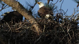 Eagle Parents - Video