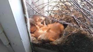 Baby Squirrels Napping - Video