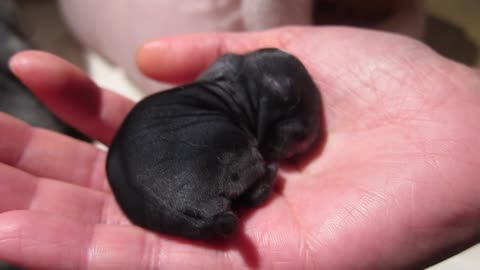 Precious newborn bunny sleeping in the palm of a hand