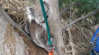 Koala Drinking from Hose in the Summer Heat - Video