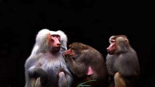 Awesome Baboons