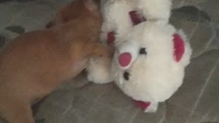 Puppy pinsher playing with teddy