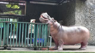 Hungry Hungry Hippo Gets Feed By Visitor Raw Materials