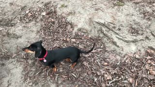 Dog Sniffing The Ground While Waving Tail