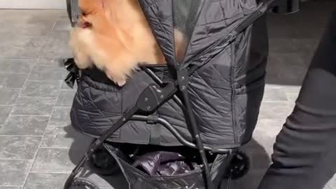 Spoiled Pomeranian goes for ride in baby stroller