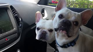 Two French Bulldogs Get Excited About Going To The Dog Park - Video