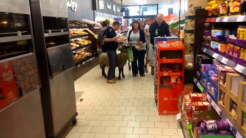 Shopping with a Sheep
