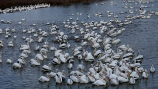 Pelicans migrate through Central Mississippi  - Video