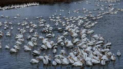 Pelicans migrate through Central Mississippi