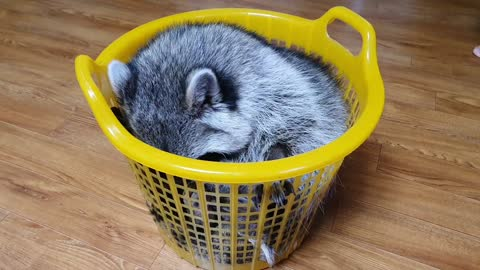 Raccoon sits in the laundry basket like a cat.