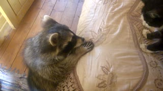 Raccoon Tries to Make Friends With Cat - Video