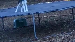 Bouncing Husky - Video