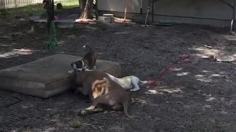 Super adorable puppy tries to show older foster sister how to dig