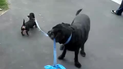 Dogs take turns walking each other on leash