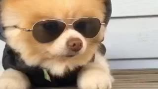 Pomeranian in hoodie wears sunglasses slide down - Video