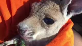 Milly the Kangaroo Has a Snack - Video