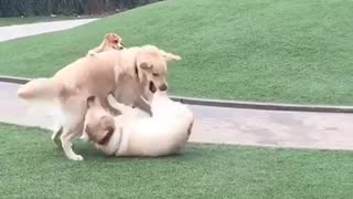 Three brown dogs on grass play fight - Video