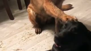German Shepherd points out her best friend - Video