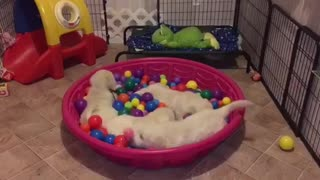 Golden Retriever puppies go crazy for ball pit - Video