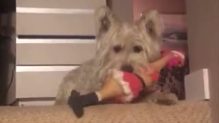 Westie dog sure knows his toys  - Video
