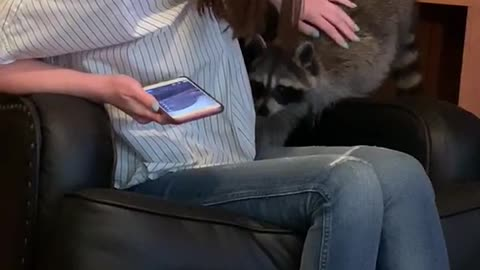 Roxy the pet raccoon sits on couch and climbs on woman
