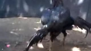 Cockfighting Black and White VS Black - Video