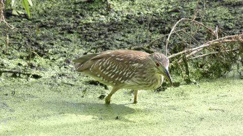 immature Black-crowned Night-Heron feeds on small fish
