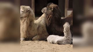 Two Cute Baby Camel Calves Born In Moscow Zoo
