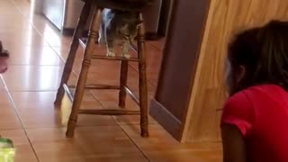 Cat standing between barstool trying to fight off girl