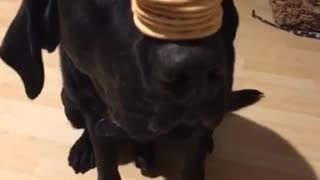 Black dog balances crackers on his nose - Video